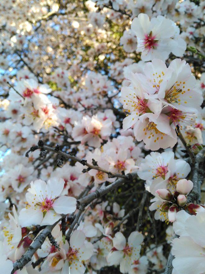 mantelipuu kukkii