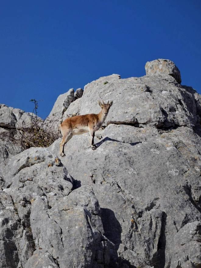 El Torcalin puistossa elää Pyreneiden vuorikauriita